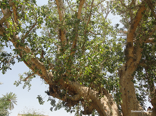 The tree Zacchaeus climbed to see Jesus